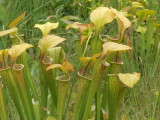 Sarracenia oreophila - good color in upper portion of pitchers