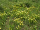 Sarracenia oreophila - many plants triving at this site