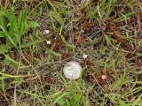 Drosera intermedia - tiny plants in bloom - quarter for scale