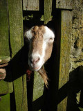 Goatshed gargoyle