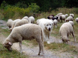 Guard dog staying with sheep in high valley