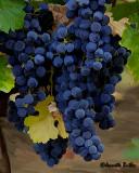 MUMMS Vineyard