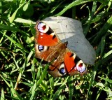 butterfly ULC.jpg
