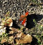 butterfly 2 ULC.jpg