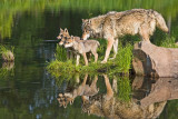Wolf Family Reflection