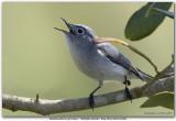 Gobemoucheron gris-bleu / Blue-Gray Gnatcatcher