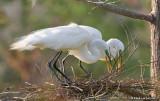Grandes aigrettes / Great Egrets