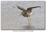 Grand chevalier / Greater Yellowlegs
