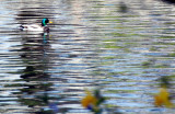 Y en el lago..... patos azulones