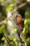 Common Chaffinch / Pinson des arbres (Fringilla coelebs)