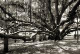 lahaina banyon tree