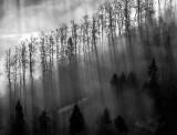 dark trees in fog