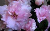 Translucent petals.  More realistic here w/o direct flash