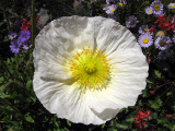 Iceland poppy seen during one block walk in Berkeley near King Tsin
