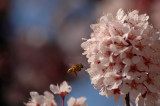 2/25/07- Bee in a Plum Tree- V2.0
