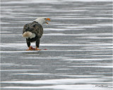 Bald Eagle  (having duck for lunch)