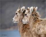 Bighorn Sheep (yearlings)