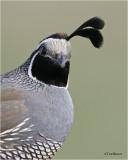 California Quail           (male)