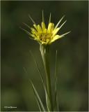Yellow Salify  (weed)