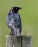 Brewer's Blackbird (male)