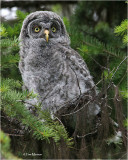 Great Gray Owl (fledgling))