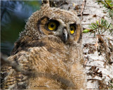Great Horned Owl ( fledgling)