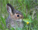 Snowshoe-Hare   (baby)