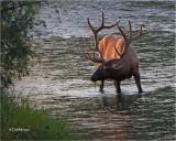 Backlit bull Elk