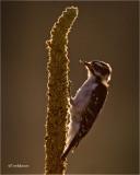 Downy Woodpecker  (backlit)