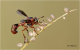 Thick Headed Fly  (wasp mimic)
