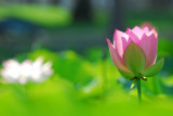 Lotus garden/Echo Park. CA
