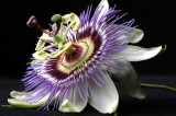 Passion with Passion Flower