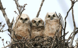 Great Horned Owls 2007