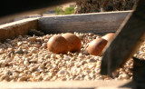 ...Peregrine Eggs...