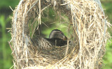 ...Mrs.Mallard in nest tube...