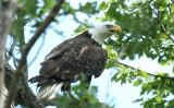 ...Bald Eagles...
