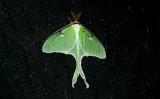 ...Luna Moth...