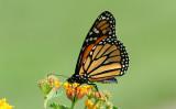 ...Monarch perched on Lantana Plant...