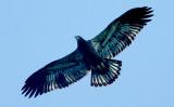 ...Juvenile Eagles..