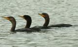 ...Cormorants...