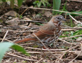 Birds of Washington Gallery 7:  Tanagers (401) to Buntings (435)