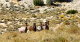 Herd of Wild 'stangs