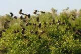 Yellow-head Blackbirds