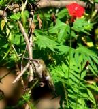 Hummingbird Garden 2006