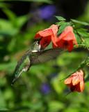 2007 Hummingbirds