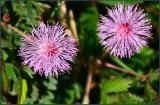 Pretty Invasive Weed in Fiji