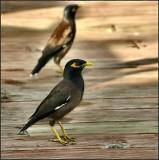 Myna Bird in Fiji
