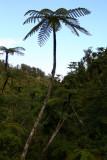 Tall Tree Ferns