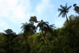 Tall Tree Ferns, before the rain