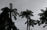Tree ferns and grey sky